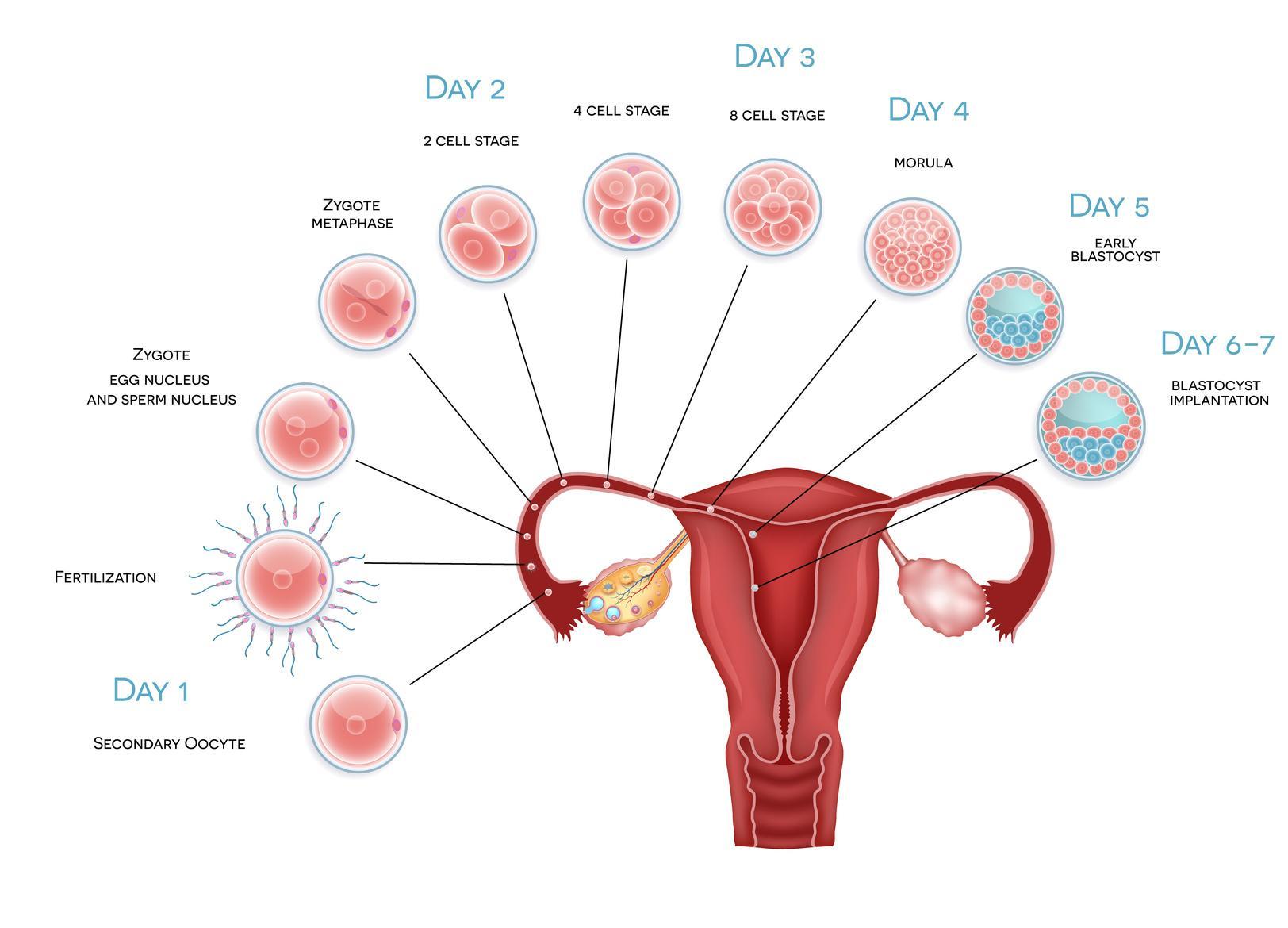 PCOS: Entwicklung von Follikel und Embryo